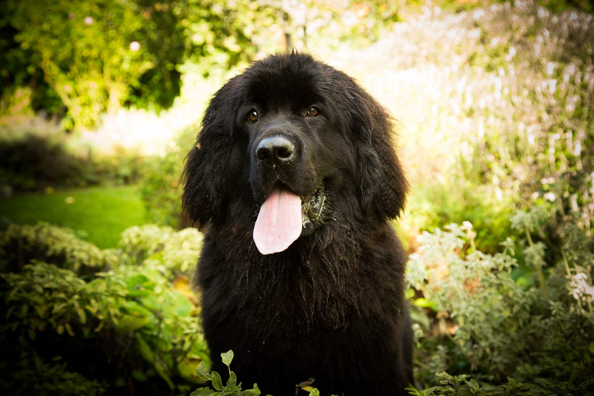 Newfoundland puppy sat with her tongue out, in a country garden.
