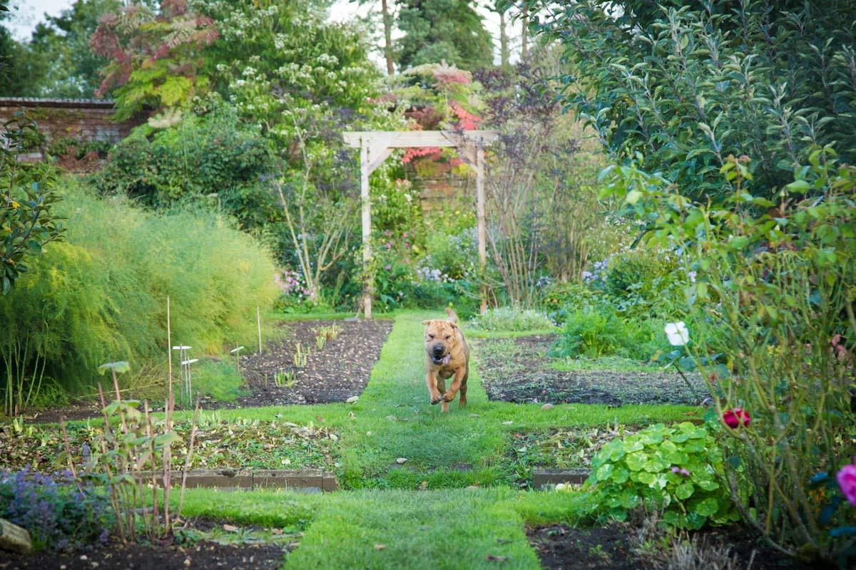 Shar Pei running in a country garden.