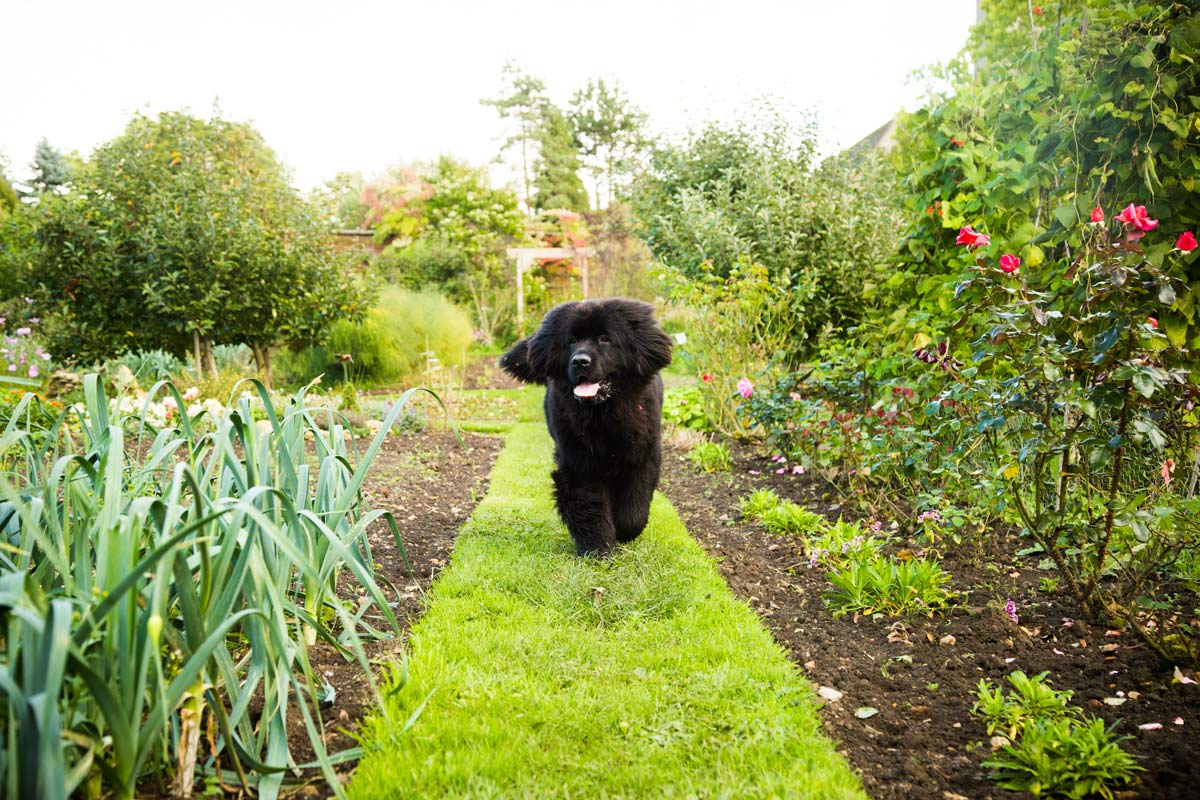 Black Newfoundland puppy running in a garden.