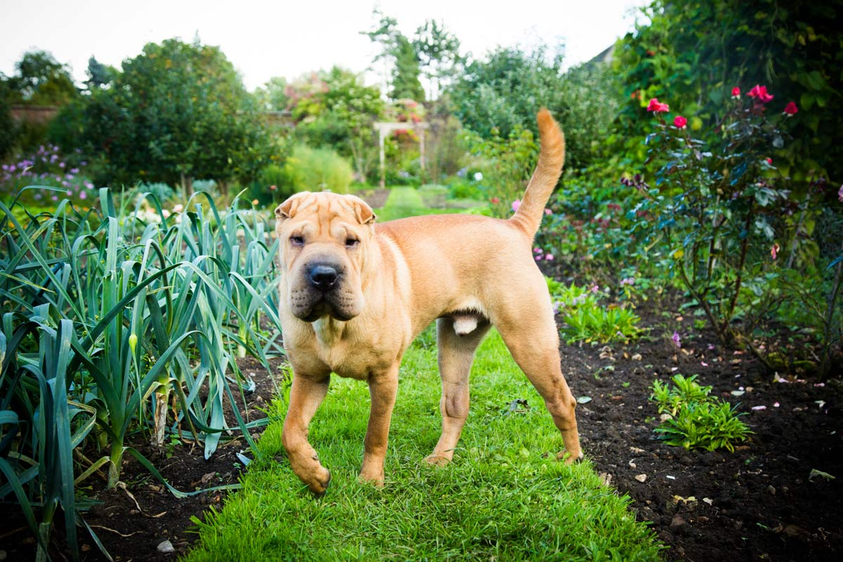 Shar Pei stood in a country garden.