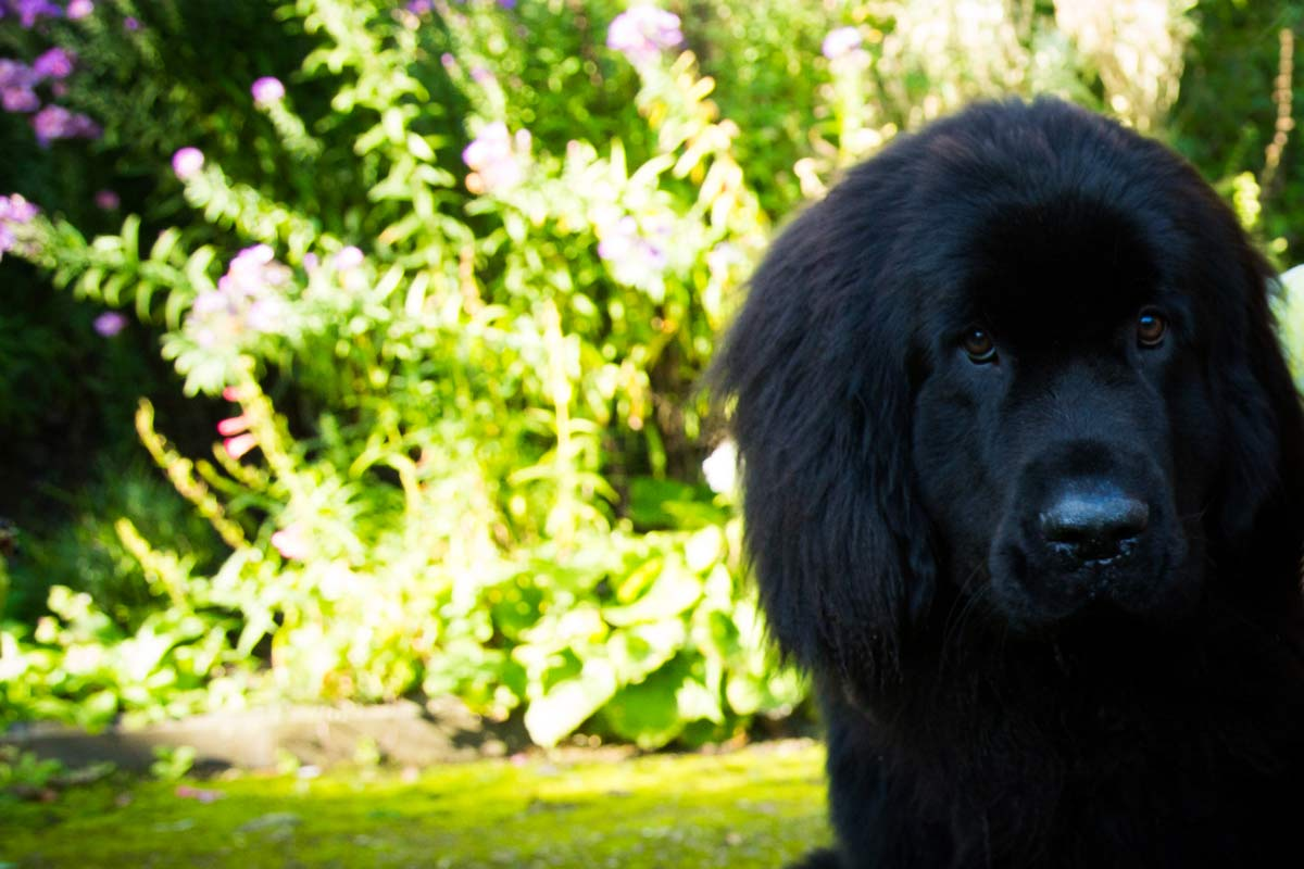 Black Newfoundland puppy sitting in a country garden.