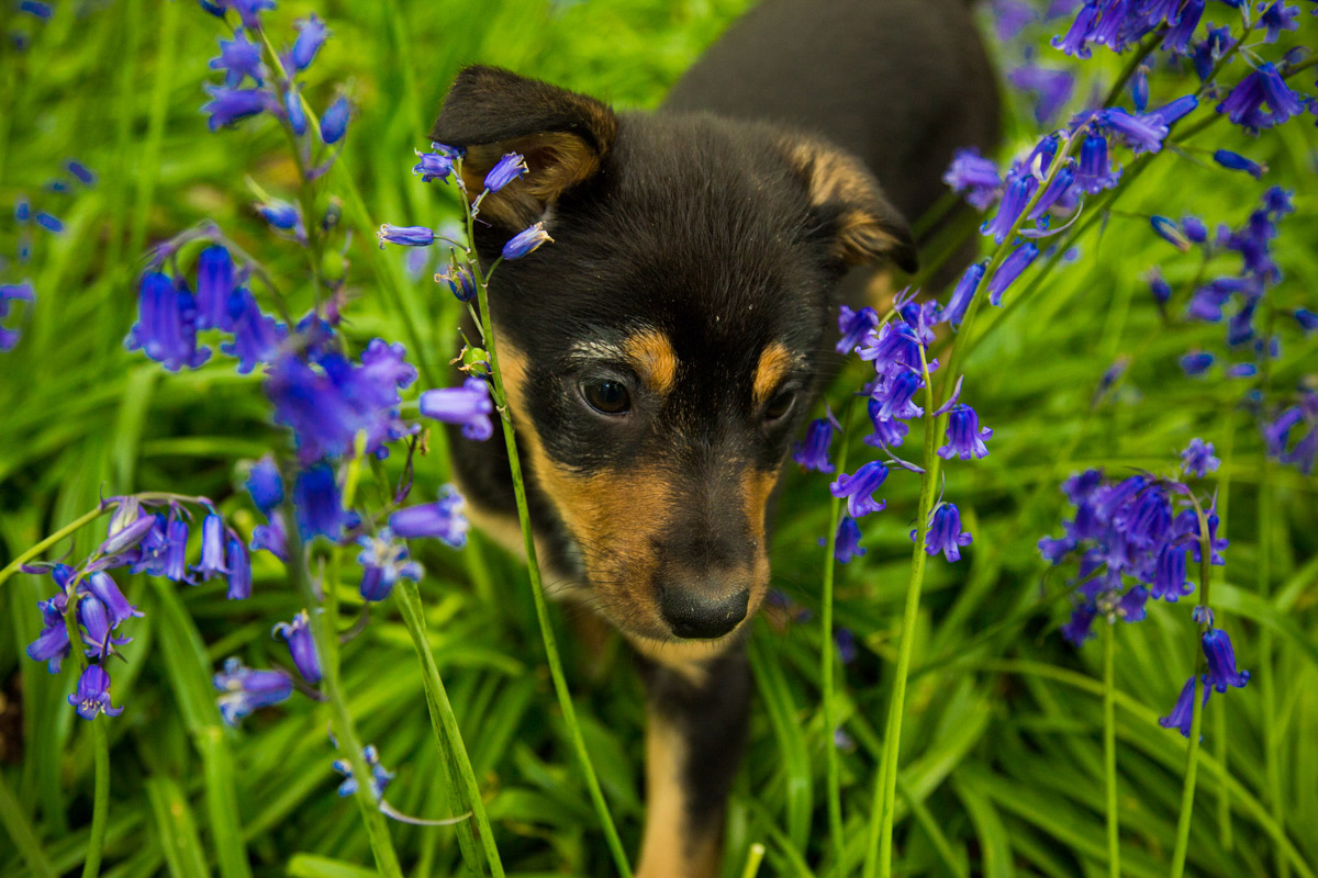 Kelpie puppy stood in the middle of bluebells on Bredon Hill.