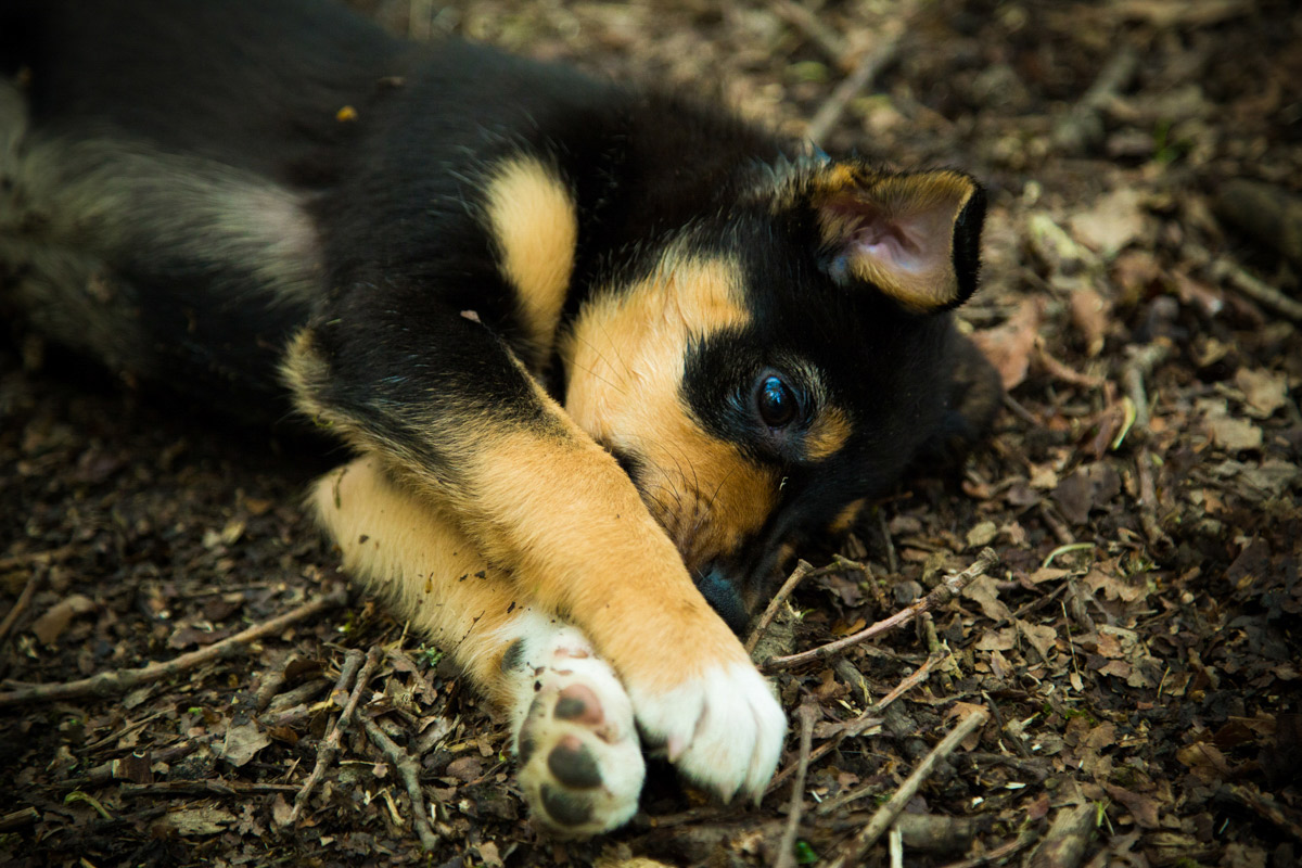 Kelpie puppy lay on her side on the woodland floor.