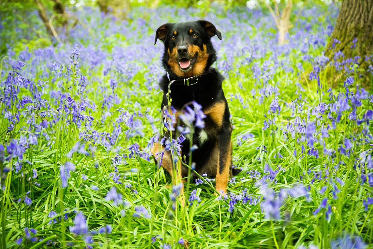 Kelpie collie dog sat in the bluebells on Bredon Hill.