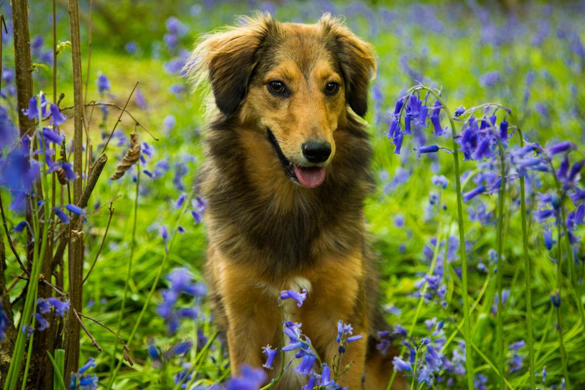 Sheltie cross dog sat in the bluebells, on Bredon Hill.