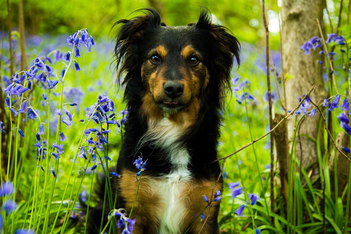 Collie cross dog sat amongst the bluebells in bluebell wood, Bredon Hill.
