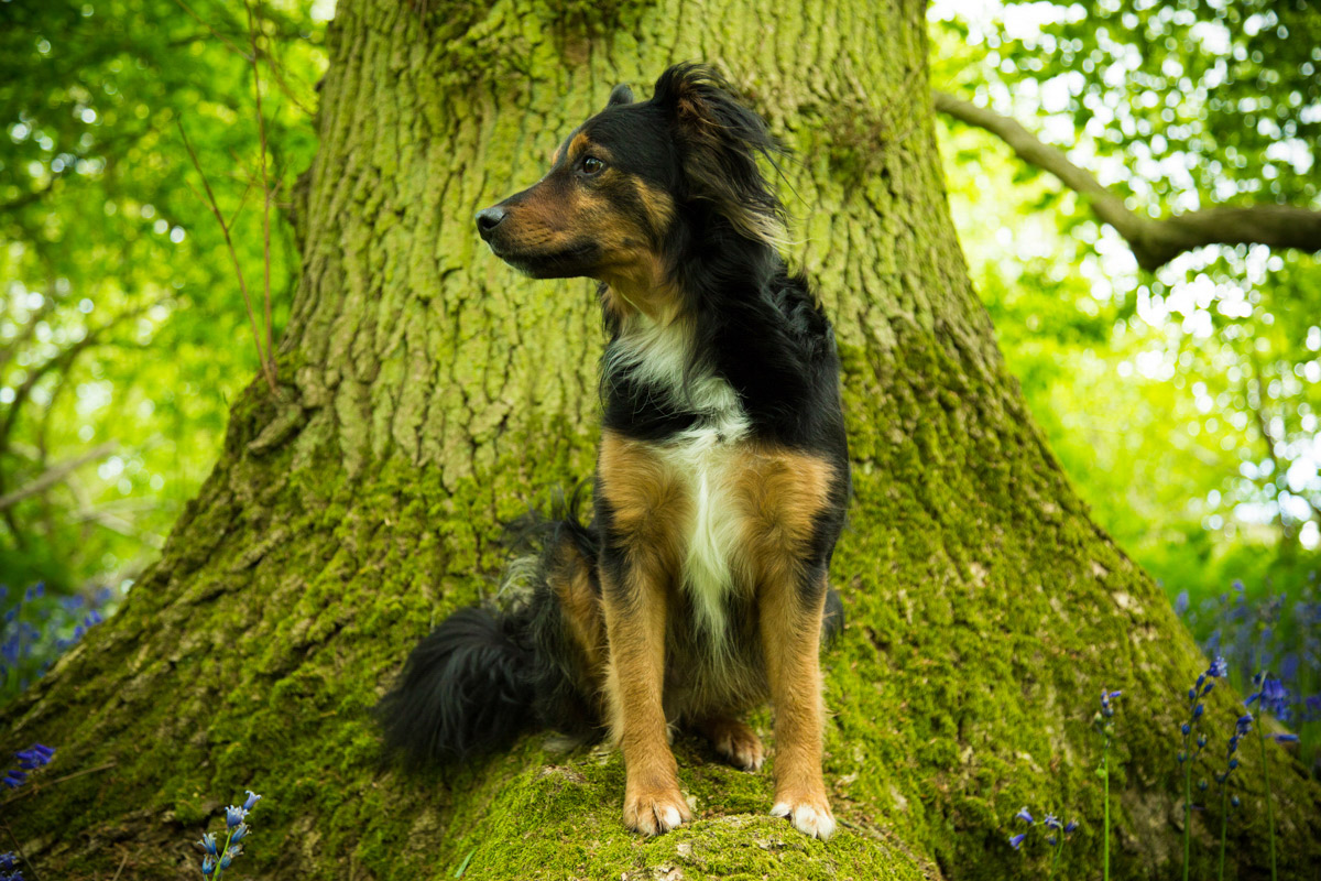 Collie cross dog, sat on a tree in Bluebell Wood, Bredon Hill.