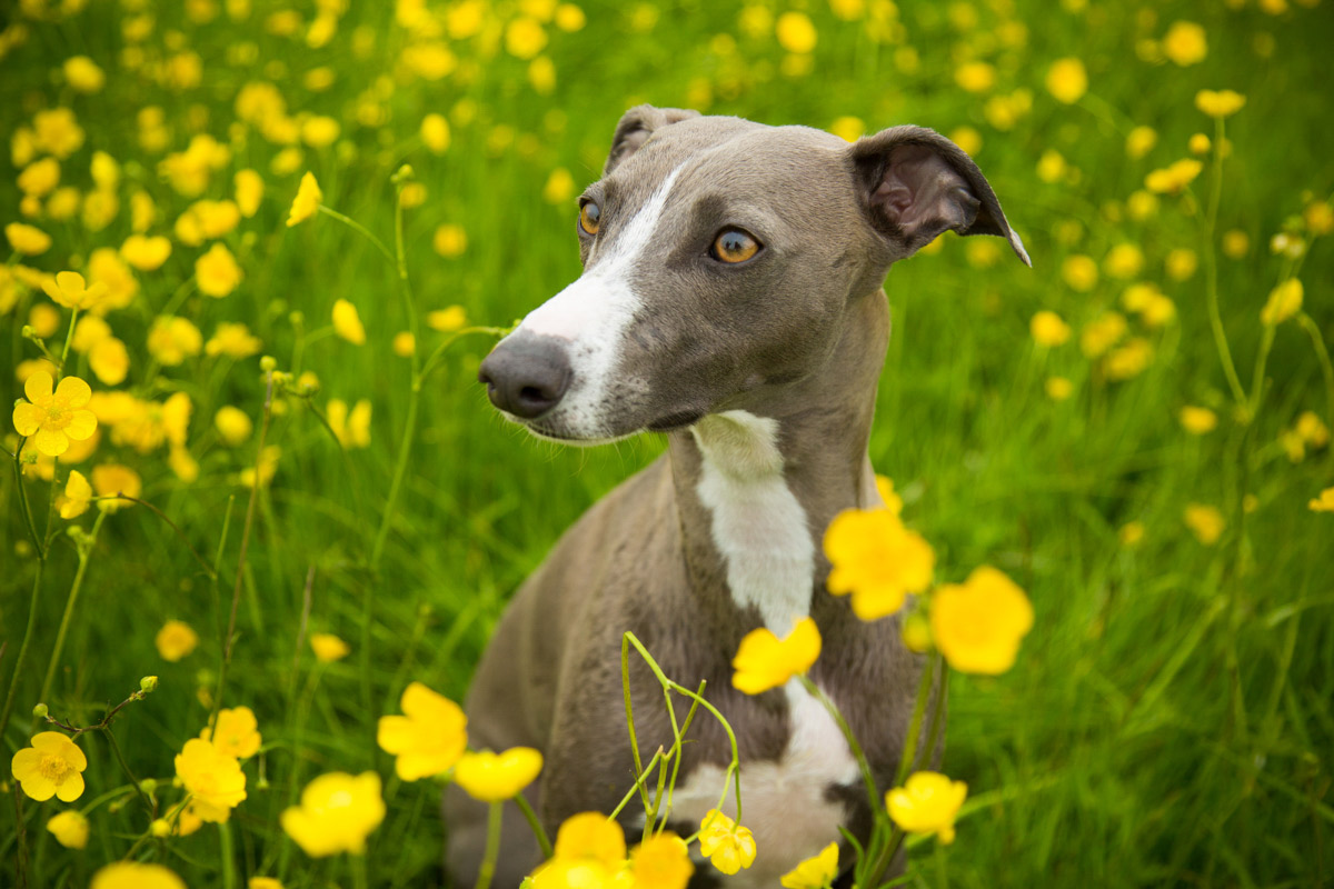 Whippet dog sat in a buttercup field.