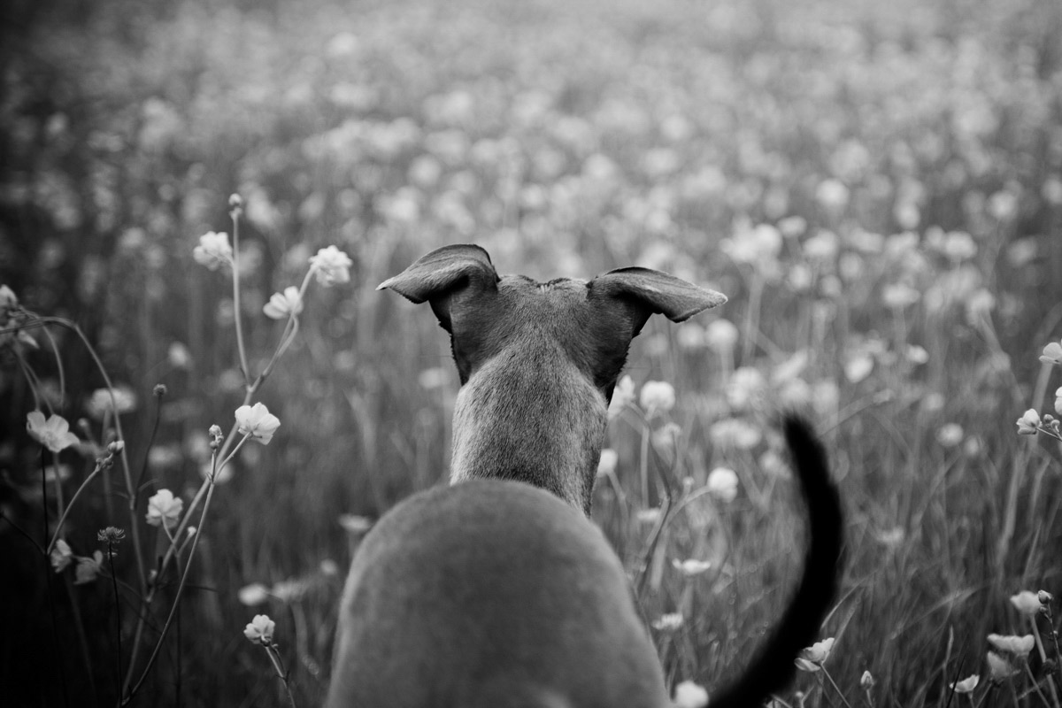 Rear view of a Whippet in a buttercup field.