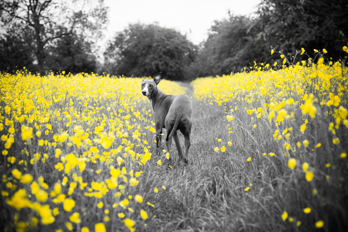 Whippet dog surrounded by buttercups.