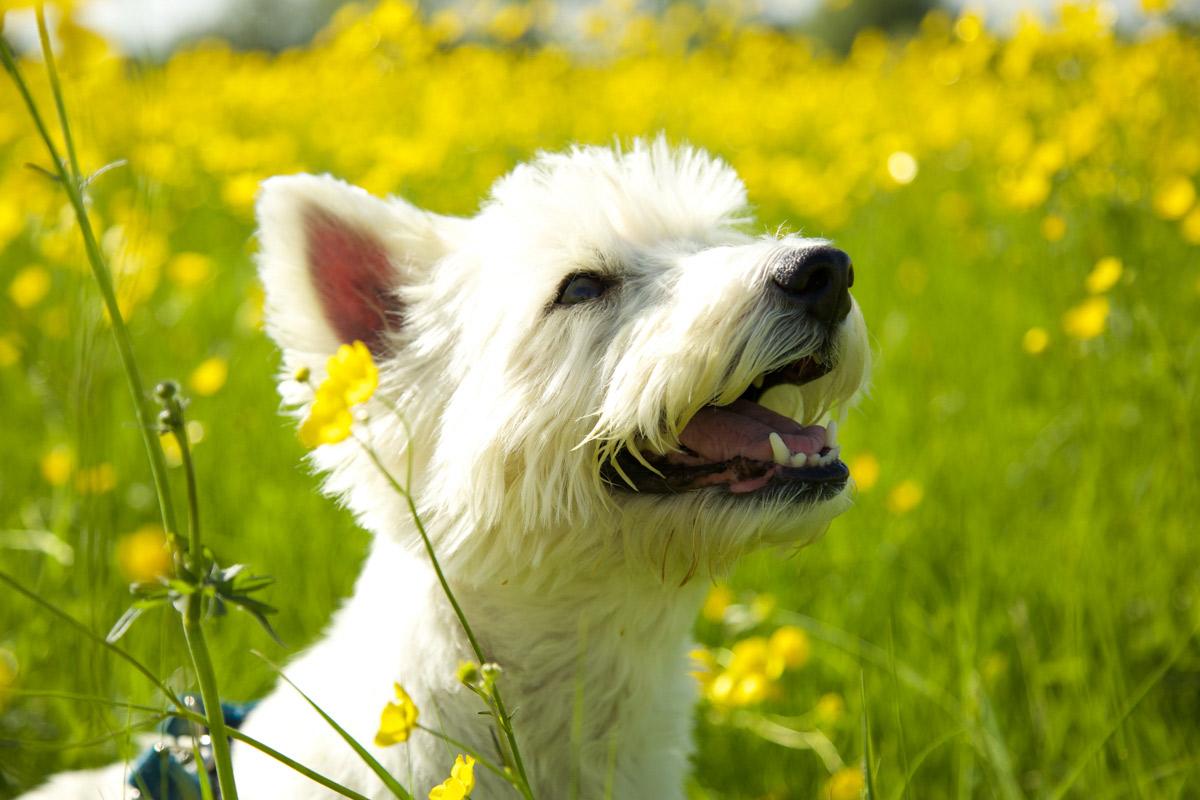 Westie dog sat in a field of buttercups in Northway, Tewkesbury.