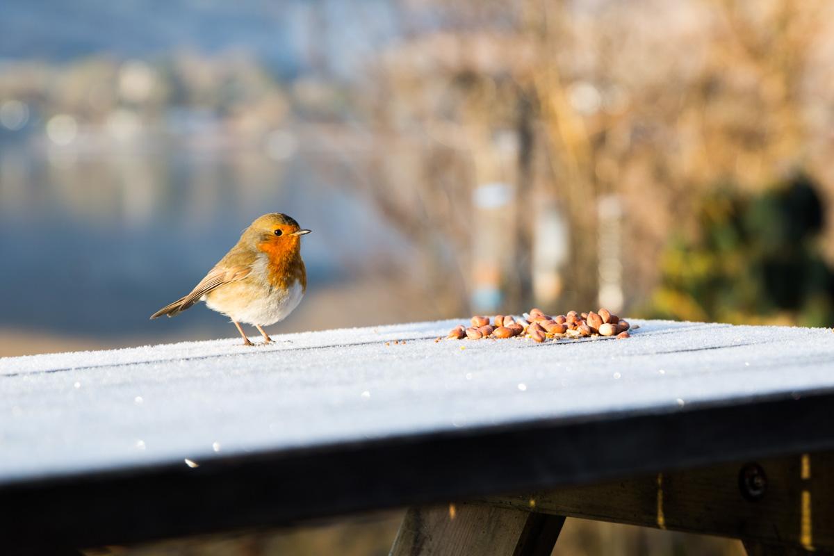 Lochgoilhead wildlife wedding photographer. A robin stood on an icy bench. Lochgoilhead, Glasgow wedding photographer.